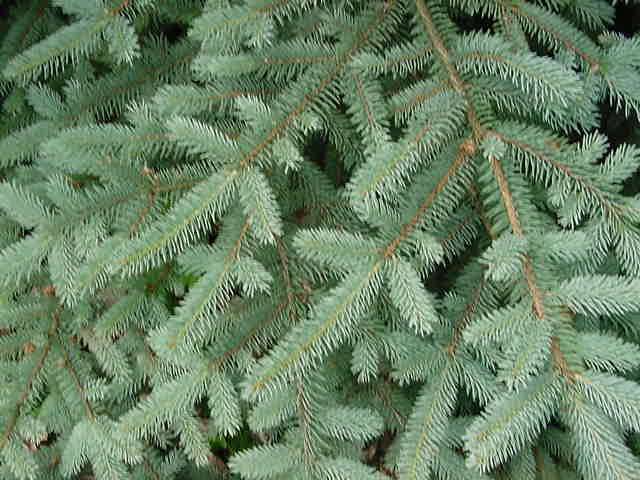 Deck The Holiday 39 S Christmas Tree Types