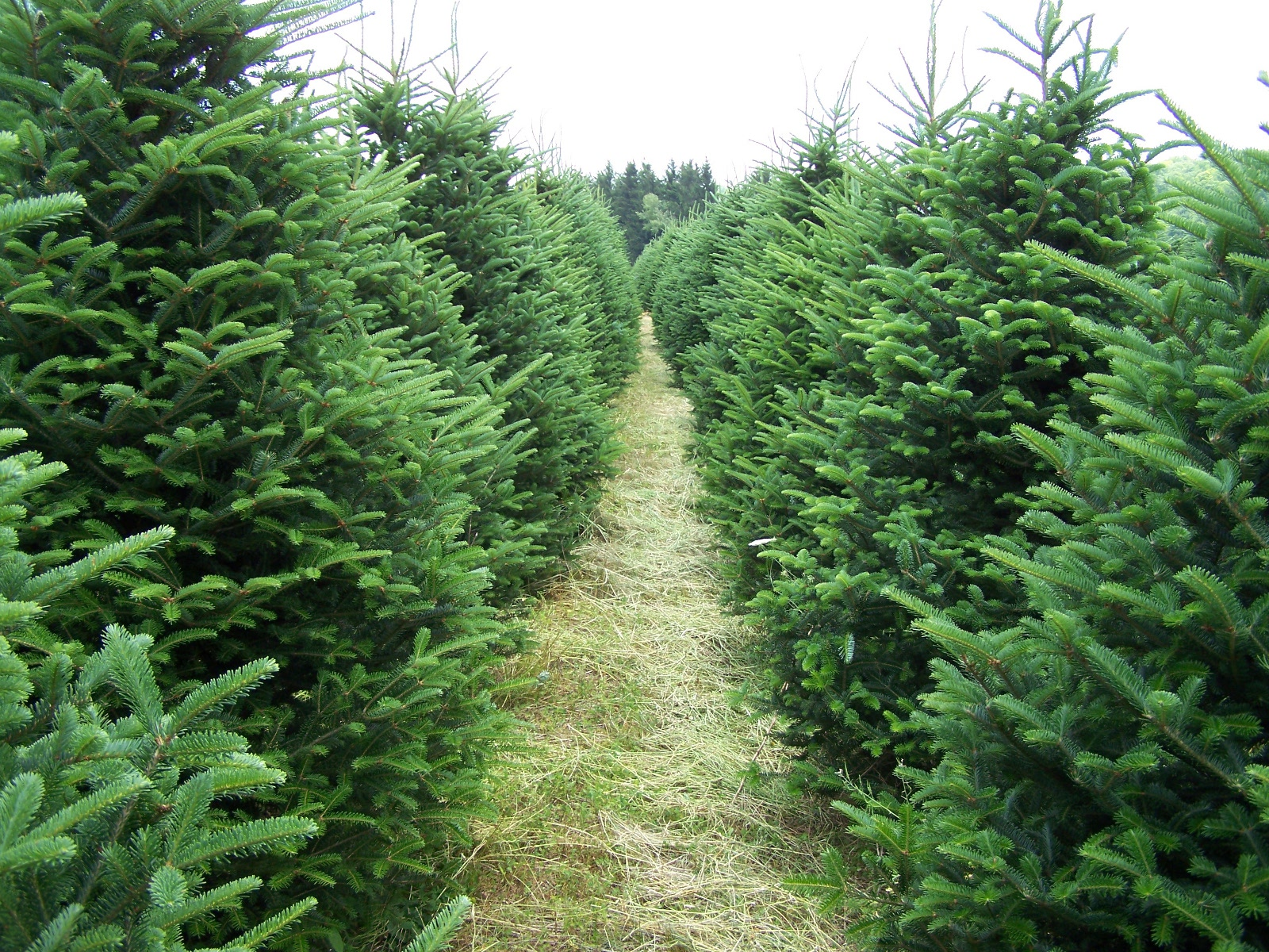 Fresh christmas trees up to 7 only thanksgiving weekend only friday 11 28 thru sunday - Tell tree dying order save ...