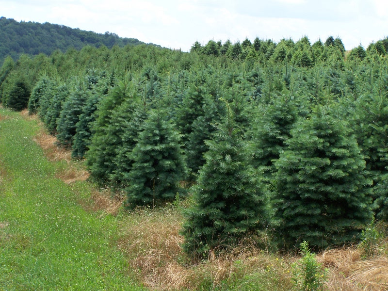 A Growing Business Since 1928 Forest View Evergreen Tree Farms